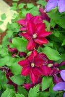 Clematis ANSLEY Evipo103